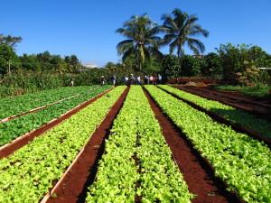 Organaponico Lettuce field in Cuba - Cuba Cultural Trips